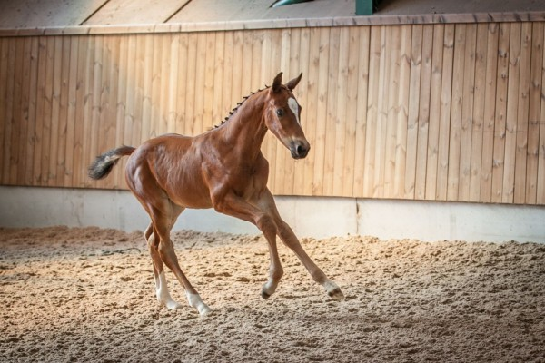 Bolesworth Elite Foal Collection 2020 Revealed